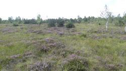 Blick auf eine Hochmoorweite mit einigen Birken und Kiefern im Mittel- und Hintergrund. Die Fläche ist geprägt von wechselnden Flecken von blühender Besenheide und grasigen Stellen. Am Horizont ragt ein Kirchturm heraus.