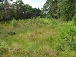 Streifenförmiger Offenlandbereich eines Moores mit einzelnen kleinen Gehölzen, der von einem Kiefern-Birken-Wald (auf Torfboden) umgeben ist.