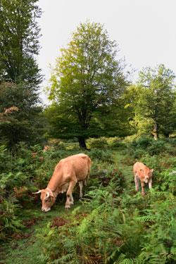 Halboffene Weidefläche mit einzelnen Hutebuchen und Adlerfarn-Dickichten, auf der eine Kuh mit Kälbchen grast.