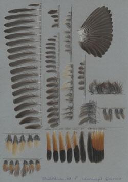Foto mit aufgeklebten und systematisch sortierten Federn des Blaukehlchens (Luscinia svecica).