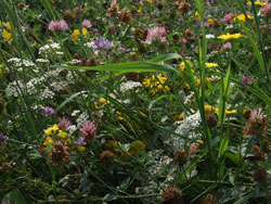 Nahaufnahme einer blühenden, artenreichen Wiese.