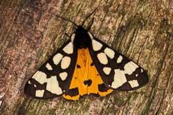 Nahaufnahme des  Schwarzen Bären (Arctia villica)  mit ausgebreiteten schwarz-weiß gefleckten Vorder- und orange-schwarz gefleckten Hinterflügeln.