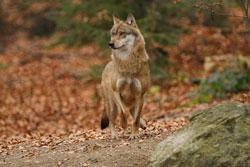 Ein Jungwolf (Canis lupus) läuft über einen laubbedeckten Waldboden und schaut aufmerksam zur Seite, als würde er Witterung aufnehmen. Im Vordergrund ist ein Felsen zu sehen.