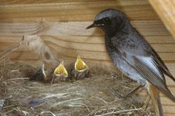 Nahaufnahme eines Nestes unter einem Dachvorsprung. Im Nest sitzen 3 kleine Vögel mit aufgesperrten Schnäbeln, am Nestrand ein adultes Hausrotschwanzweibchen.