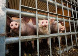 Drei Schweine schauen durch ein Gitter aus dem Stall heraus.
