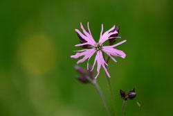 Makroaufnahme einer Kuckucks-Lichtnelke (Silene flos-cuculi), mit charakteristischen violetten und tief eingeschnittenen Blütenblättern.