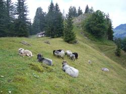 Mehrere unterschiedlich grau, braun bis schwarz gefärbte Schafe der Rasse Alpines Steinschaf stehen und lagern auf einer Almweide. Im Hintergrund ist der Almkaser zu sehen. An einigen Stellen geht das Gelände in Bergwald über, an anderen steigt es steil an, Felsen sind erkennbar.