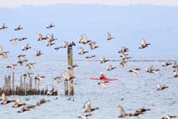 Ein Kanufahrer paddelt auf dem See und scheucht damit einen großen Schwarm Enten auf.