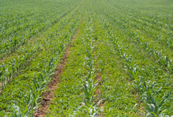 Das Bild zeigt kleine Maispflänzchen, die dicht an dicht in Reihen gepflanzt sind.