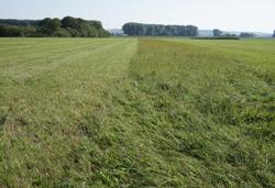 Auf dem Foto ist eine weitläufige, grüne Wiesenlandschaft im Königsauer Moos abgebildet. Die Wiesenfläche wird in der Mitte durch einen Streifen von höher gewachsener Gras- und Krautvegetation geteilt.