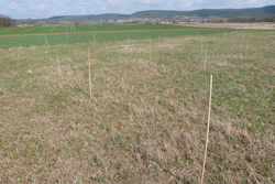 Auf dem Foto ist im Vordergrund eine Ackerbrache dargestellt. In der Mitte bis in den Hintergrund erstrecken sich weitere landwirtschaftliche Felder. Auf der Ackerbrache kann man Bambusstäbe sehen, die zusammenhängend in einem Cluster ausgebracht worden sind. Die Bambusstäbe dienen als künstliche Singwarten für das Braunkehlchen.