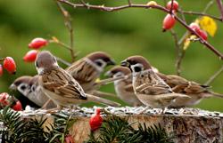 Eine Gruppe von Feldsperlingen sitzt auf einem Baumstumpf.