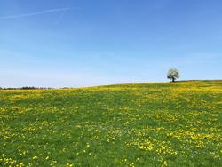 Ein kleiner Hügel mit einer Fettwiese und vielen Löwenzahnblüten. Im Hintergrund rechts ein blühender Obstbaum, links die Wipfel eines Waldrandes. Die obere Hälfte des Bildes nimmt der wolkenlose Himmel ein.