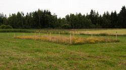 Das Foto zeigt einen mit Pfosten abgesteckten, ungemähten Bereich auf einer gemähten Grünlandfläche, in dem sehr viele gelb blühende Pflanzen zu erkennen sind.