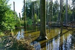 Das Bild zeigt einen angestauten Bach mit überfluteten und teils umgestürzten Bäumen.