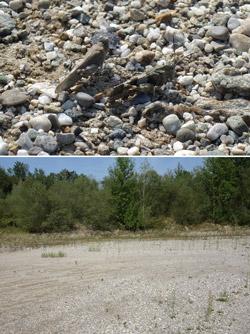 Das Bild setzt sich aus zwei Fotos zusammen: Nahaufnahme von zwei Schreckenarten auf kiesigem Untergrund (Bild oben). Foto eines sandig-kiesigen Abbaugebietes mit spärlicher Vegetation und aufkommenden Weiden im Hintergrund (Bild unten).