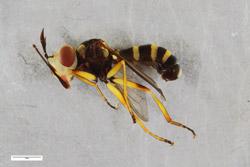 Großaufnahme eines wespenähnlichen Insekts.