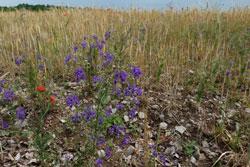 Der blau-lila-farbene Ackerrittersporn im Vordergrund des Bildes steht am Rand eines Kalkscherben-Getreideackers.