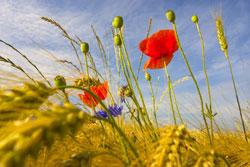 Getreidefeld mit Blüten von Wildpflanzen.