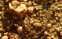 Sandige Bodenoberfläche mit laufenden Argentinischen Ameisen.